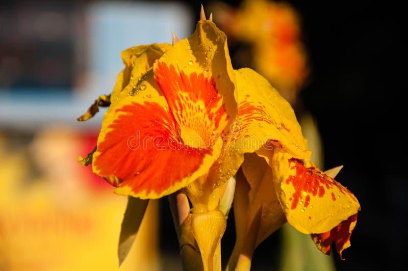 Flor Canna amarelo-vermelho imagem de stock royalty free