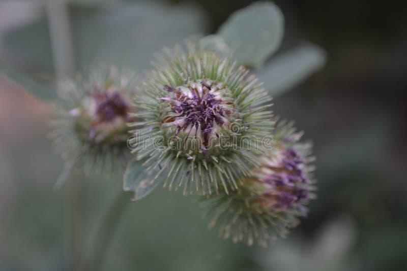 a flor, cardo, roxo, espinhas, espinhos, botão espinhoso, germina, girassol, natureza, planta, verde, mola, macro, fotos de stock royalty free