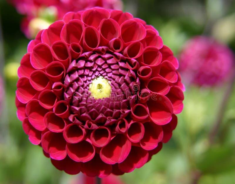 Flor carmesim da dália. imagens de stock