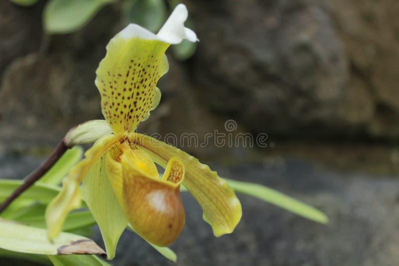 Flor carnívora del Paphiopedilum fotos de archivo