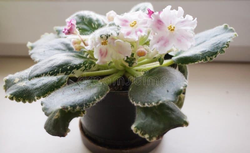 Flor casera: Uzambarskaya violeta de florecimiento con las hojas dobles foto de archivo libre de regalías