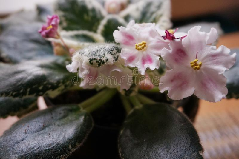 Flor casera: Uzambarskaya violeta de florecimiento con las hojas dobles fotografía de archivo