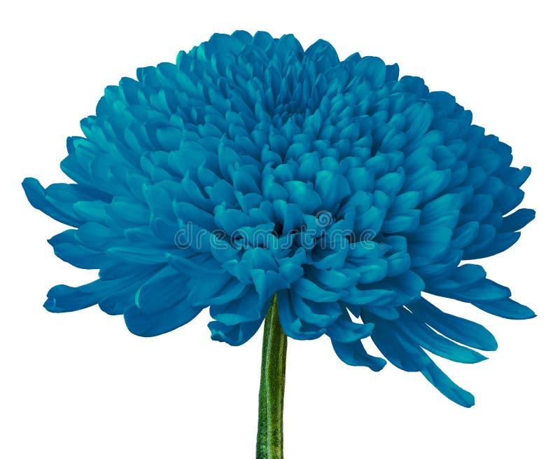 Flor cerúlea del crisantemo aislada en un fondo blanco Primer stock de ilustración