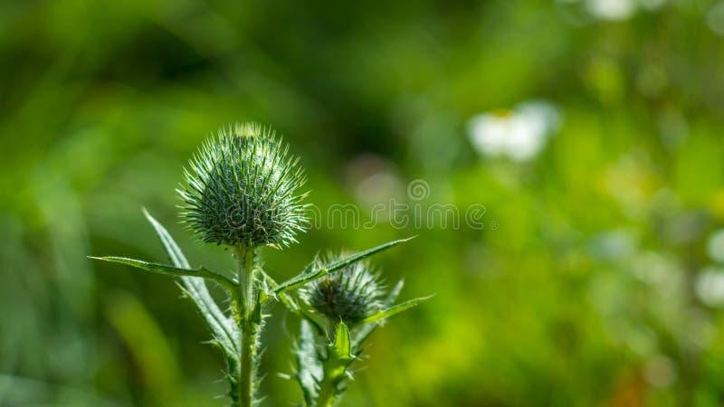 Flor cerrado del cardo en campo verde imagen de archivo