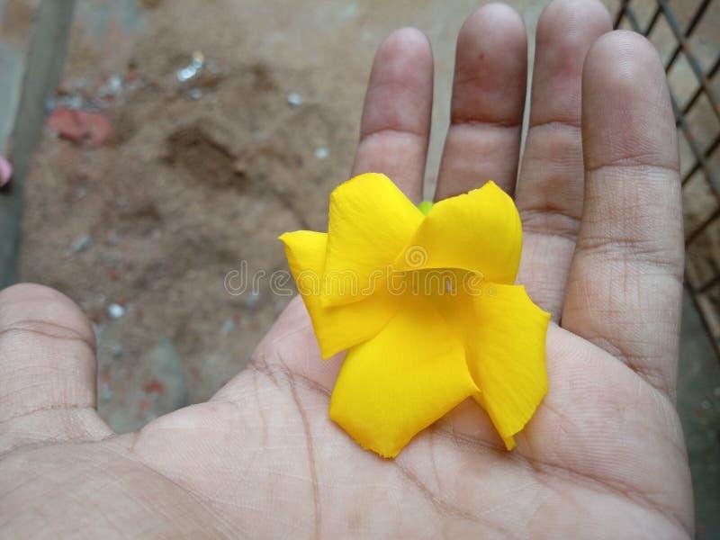 Flor Champa imagens de stock