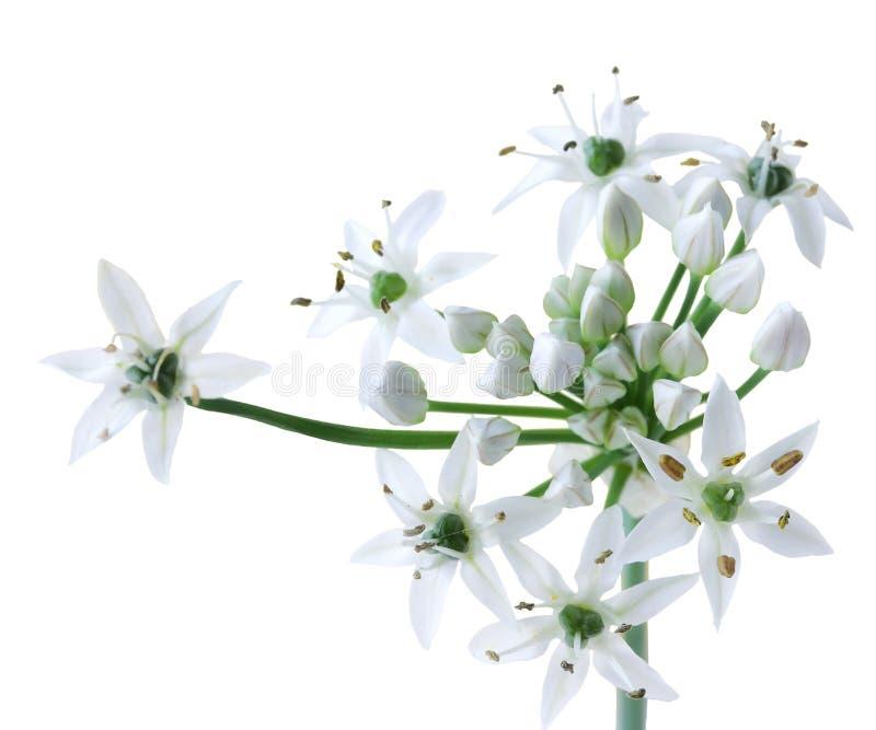 Flor china de las cebolletas fotos de archivo