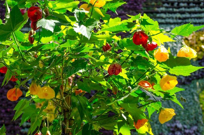 Flor chinesa bonita da lanterna do hybridum amarelo e vermelho do Abutilon x em um jardim botânico foto de stock