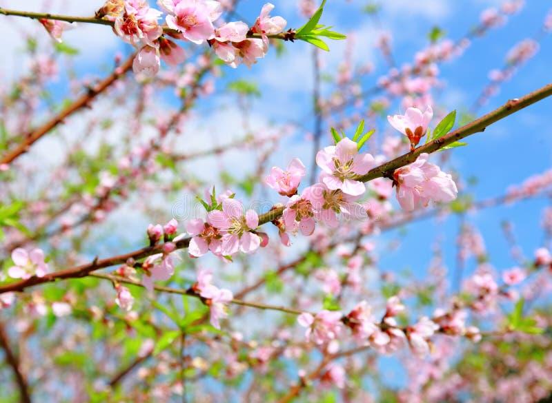 Flor chinesa do flor-pêssego da decoração do ano novo imagens de stock