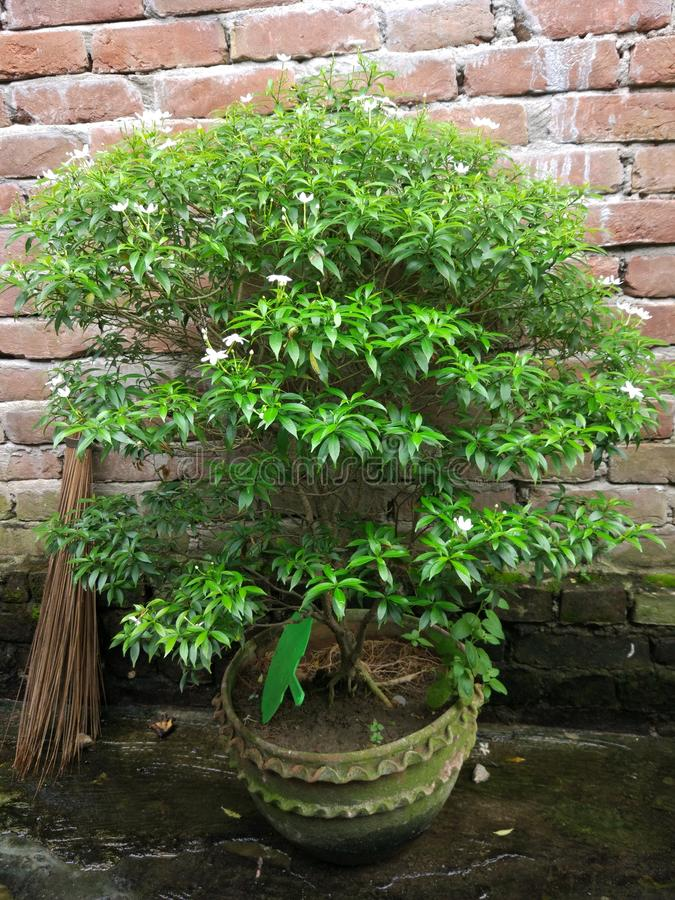 Flor chinesa do tagor imagens de stock royalty free