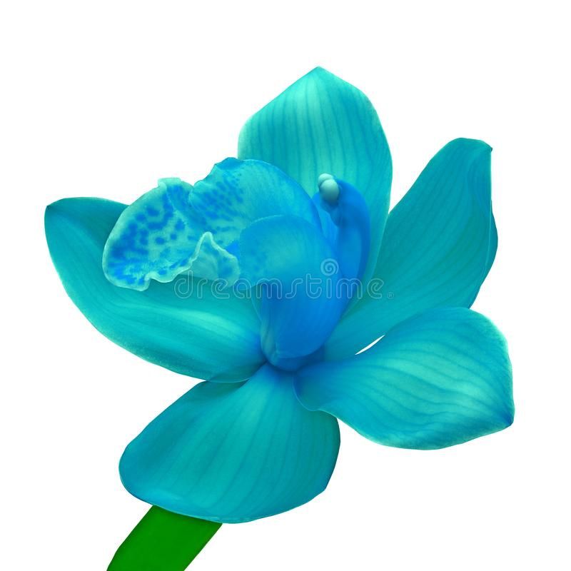 A flor ciana da orquídea azul isolou o fundo branco com trajeto de grampeamento Flor em bot?o em uma haste verde fotografia de stock
