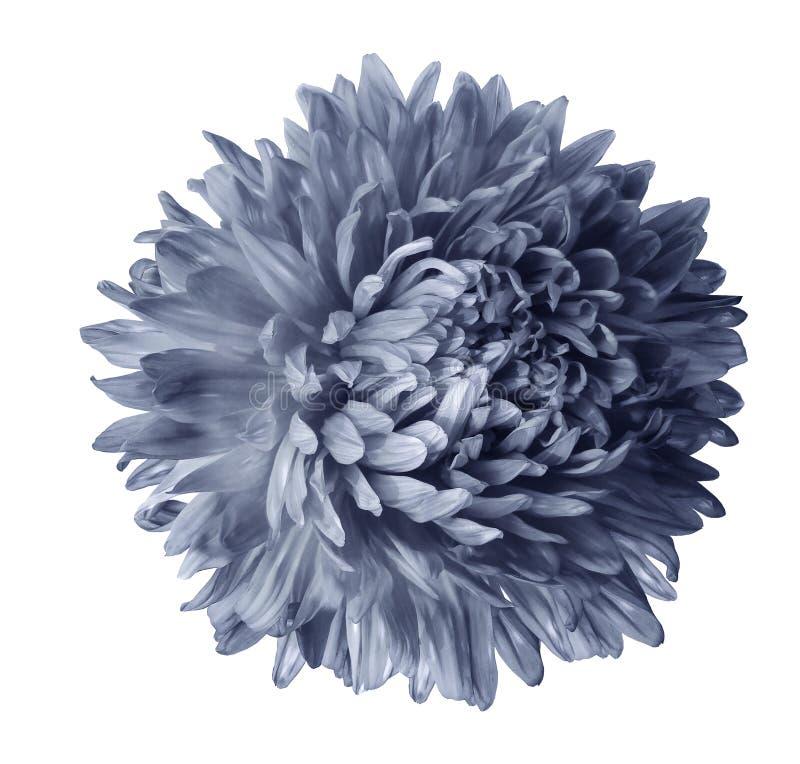 Flor cinzenta do áster isolada no fundo branco com trajeto de grampeamento Close up nenhumas sombras imagem de stock