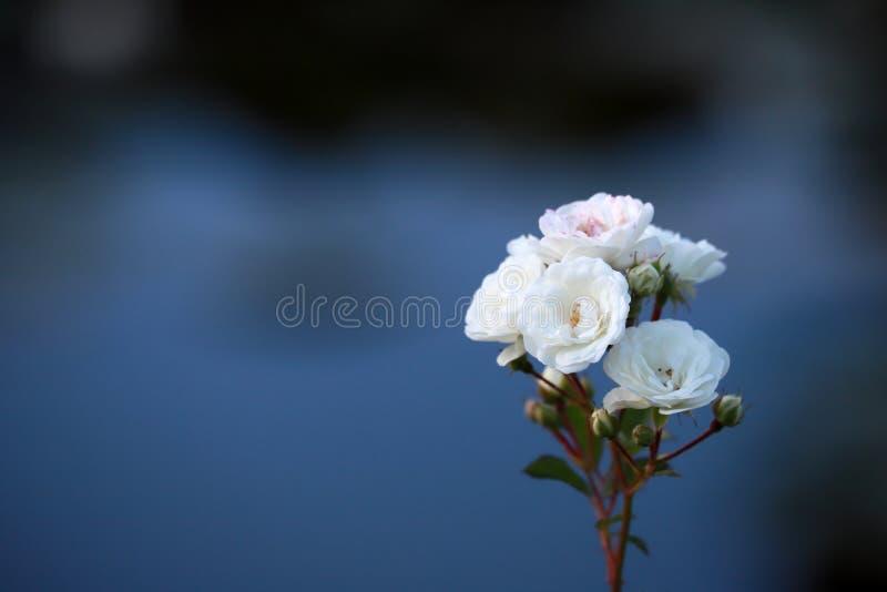 Flor color de rosa blanca en un fondo hermoso del color imagenes de archivo