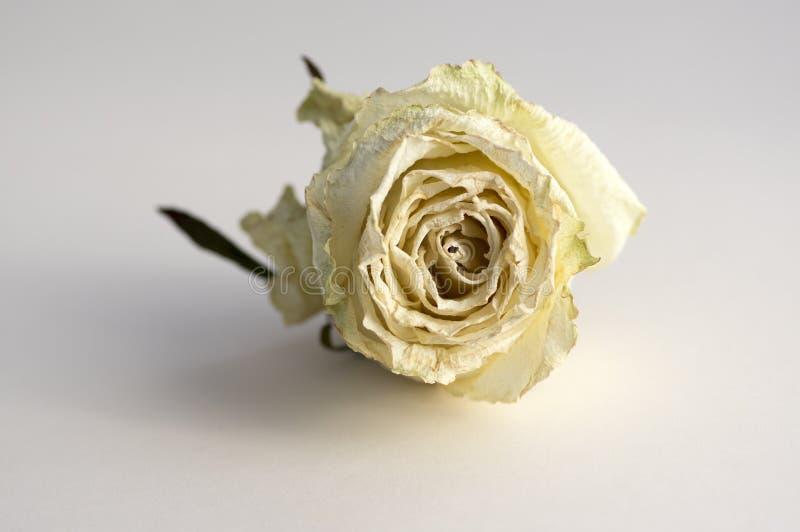 Flor color de rosa blanca seca aislada en el fondo blanco, solo objeto en el Libro Blanco, pétalos beige blancos hermosos imagen de archivo