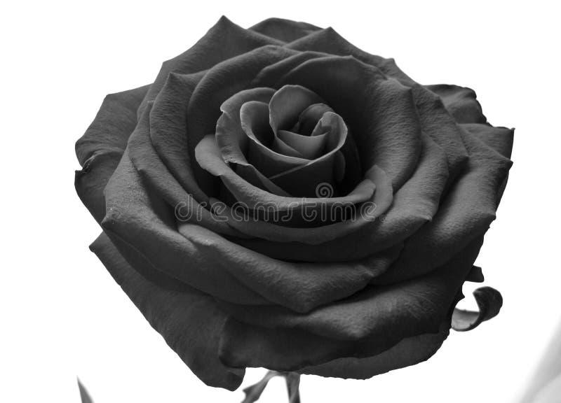 Flor color de rosa blanco y negro en fondo ligero fotos de archivo