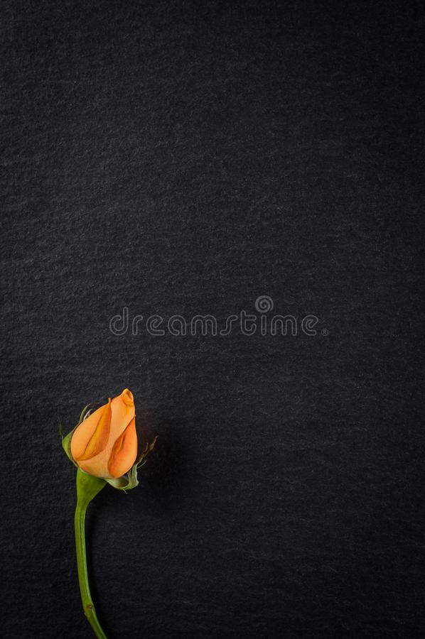 Flor color de rosa china enana con los pétalos anaranjados, primer en fondo de piedra oscuro fotos de archivo
