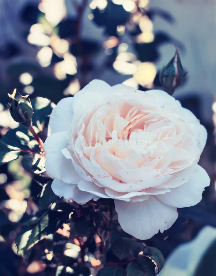Flor color de rosa rosa clara apacible entonada en estilo del instagram fotografía de archivo libre de regalías