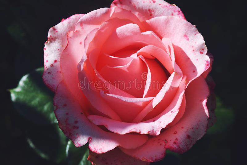 Flor color de rosa coralina en jard?n de rosas Visi?n superior foto de archivo libre de regalías