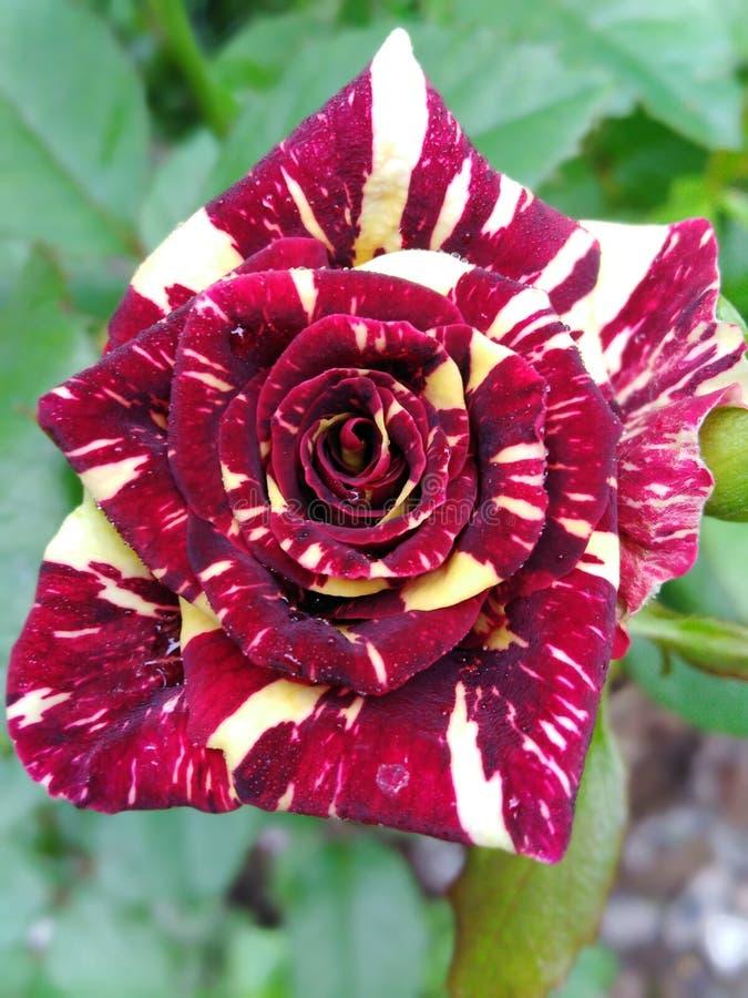 Flor color de rosa decorativa viva, rosas del multicolor foto de archivo