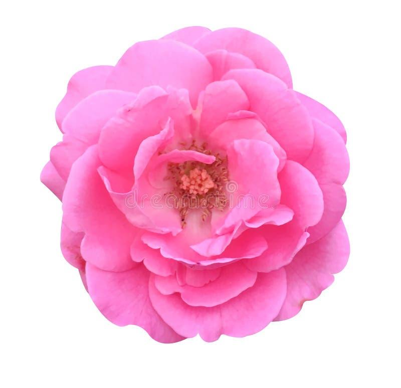 Flor color de rosa del damasco rosado foto de archivo libre de regalías