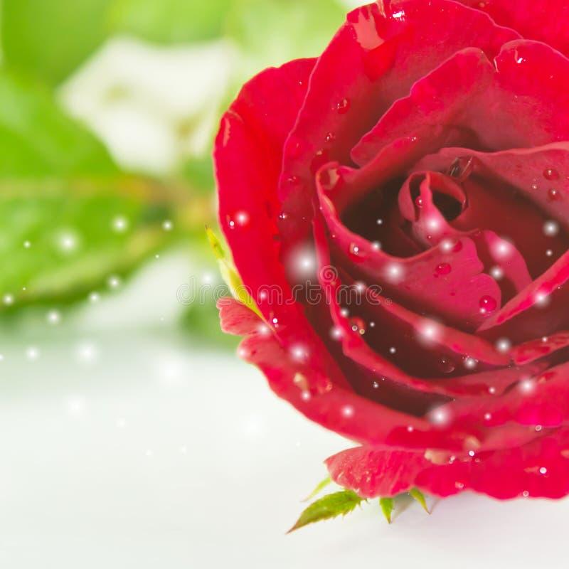 Flor color de rosa del rojo fotos de archivo libres de regalías