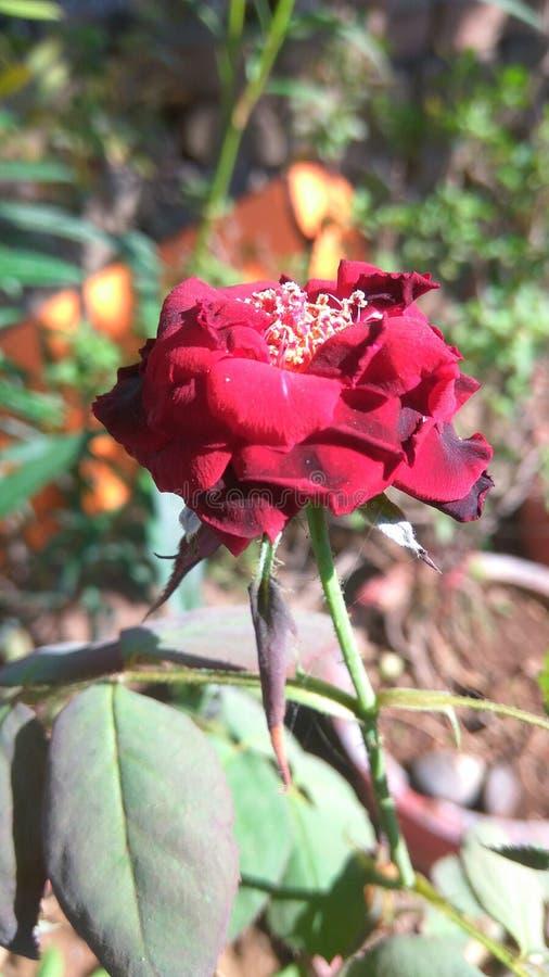 Flor color de rosa del rojo hermoso fotografía de archivo