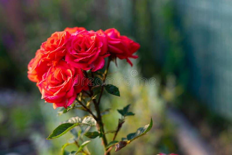Flor color de rosa del rojo hermoso Fondo imagen de archivo