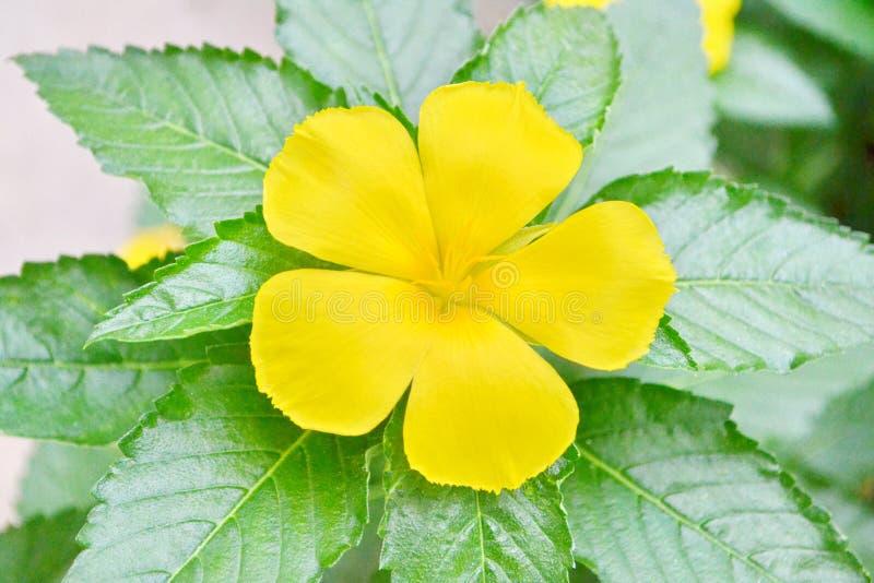 Download Flor Color De Rosa Del Sabio Foto de archivo - Imagen de jardín, estambres: 41913116
