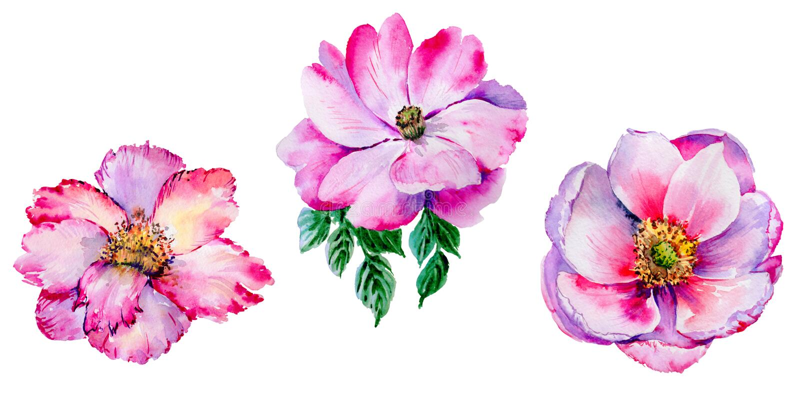 Flor color de rosa del té del Wildflower en un estilo de la acuarela aislada libre illustration