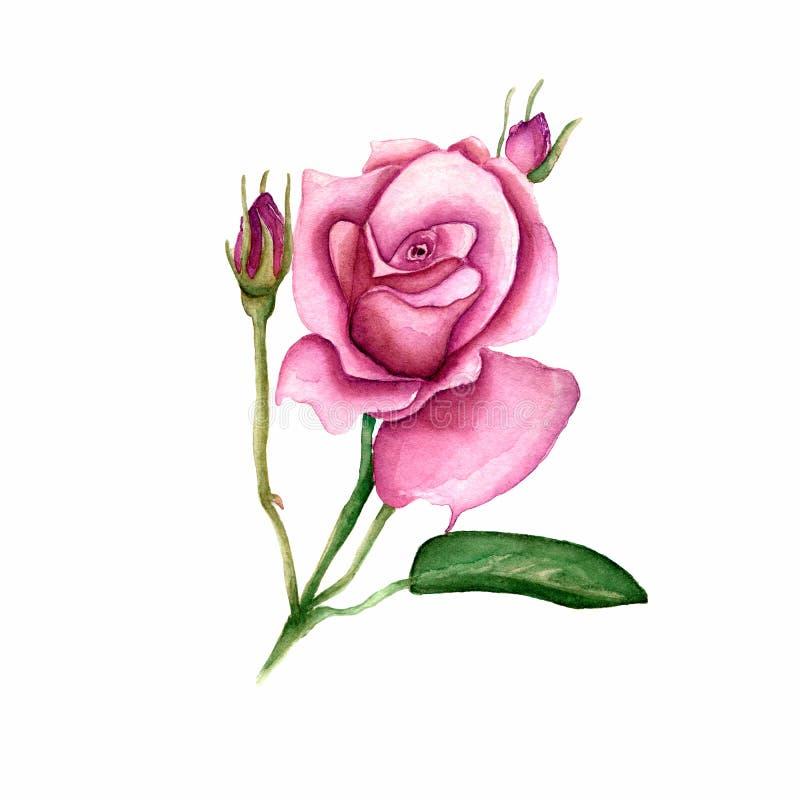 Flor color de rosa del Wildflower en un estilo de la acuarela aislada Nombre completo de la planta: subió, el hulthemia, Rosa par ilustración del vector