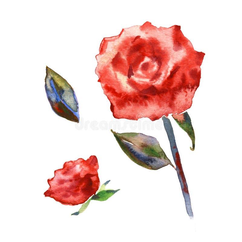 Flor color de rosa del Wildflower en un estilo de la acuarela aislada Nombre completo de la planta: subió, el hulthemia, Rosa Acu ilustración del vector