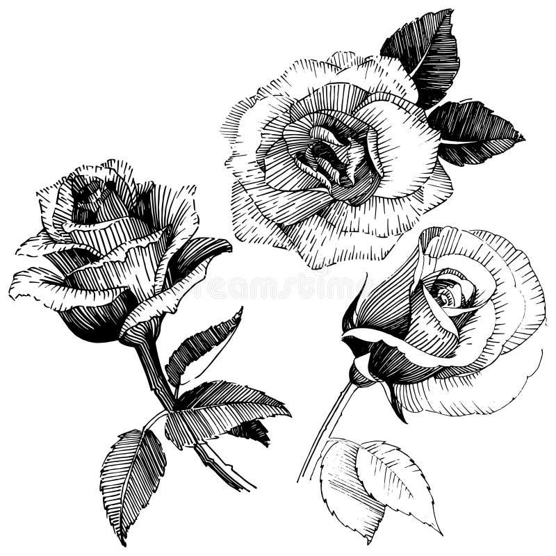 Flor color de rosa del Wildflower en un estilo del vector aislada stock de ilustración