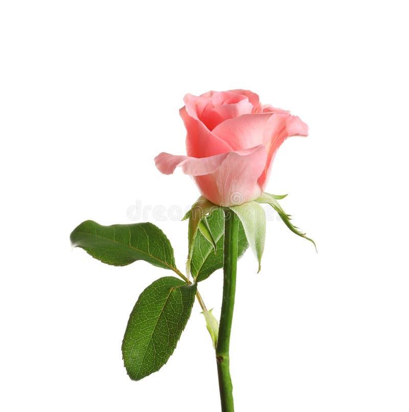 Flor color de rosa hermosa imágenes de archivo libres de regalías