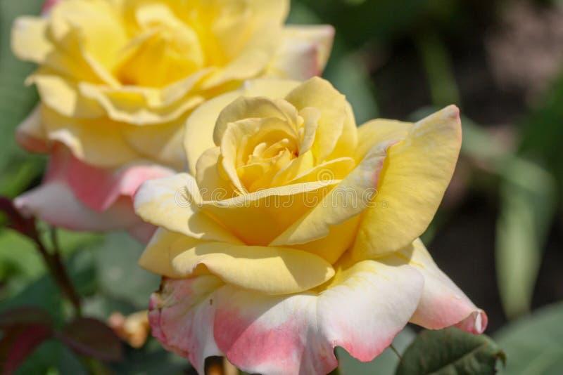 Flor color de rosa hermosa fotografía de archivo
