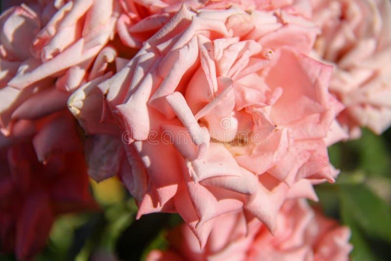 Flor color de rosa hermosa imagenes de archivo