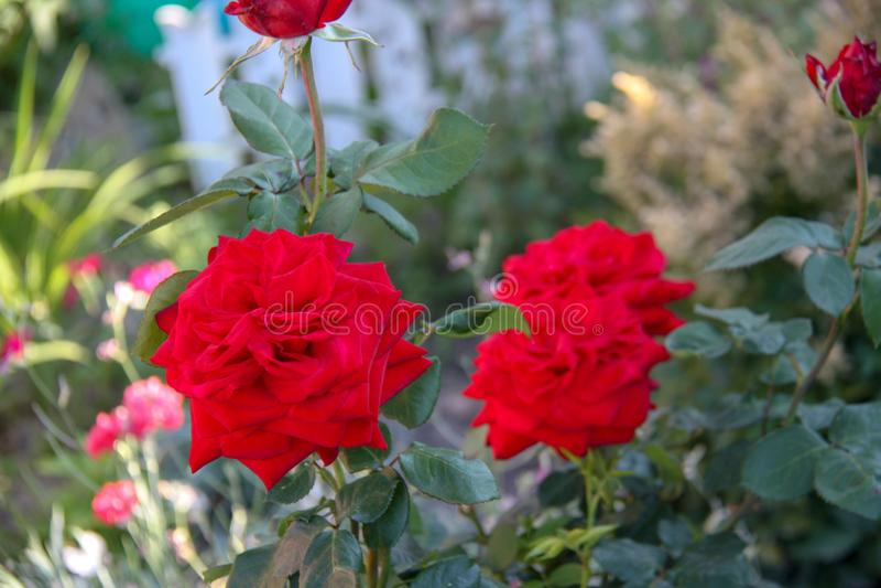 Flor color de rosa hermosa fotos de archivo