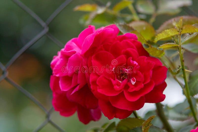 Flor color de rosa hermosa fotografía de archivo libre de regalías