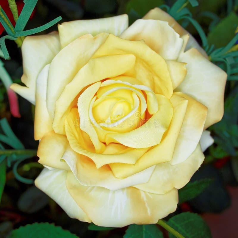 Flor color de rosa de la falsificación amarillo claro, fondo floral fotografía de archivo libre de regalías