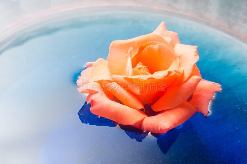 Flor color de rosa de la naranja que flota en el agua azul en un bol de vidrio imagenes de archivo