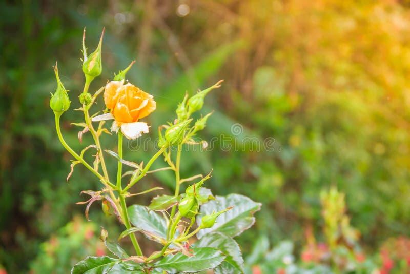 Flor color de rosa de la sola naranja hermosa en rama verde en el Garde imágenes de archivo libres de regalías
