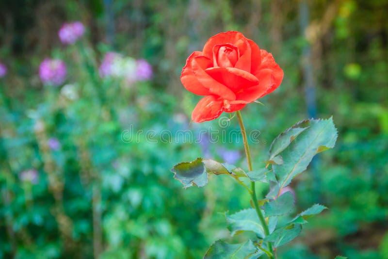 Flor color de rosa de la sola naranja hermosa en rama verde en el Garde fotos de archivo libres de regalías