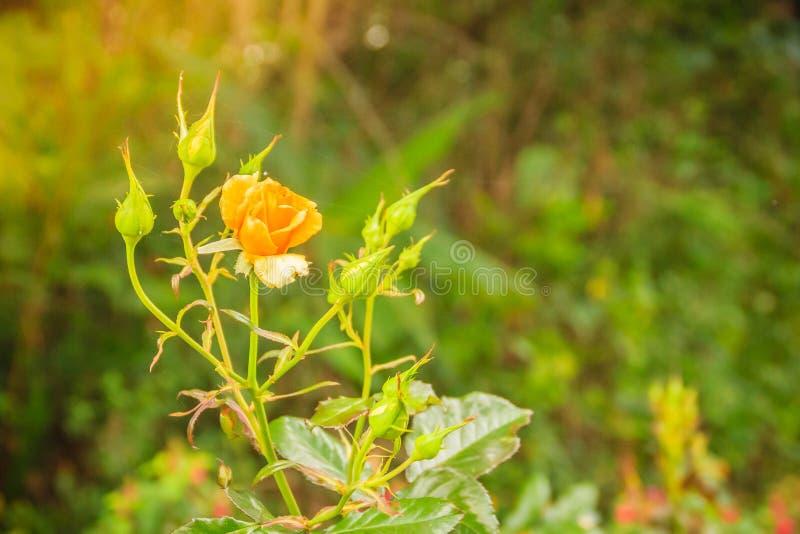Flor color de rosa de la sola naranja hermosa en rama verde en el Garde imagen de archivo libre de regalías