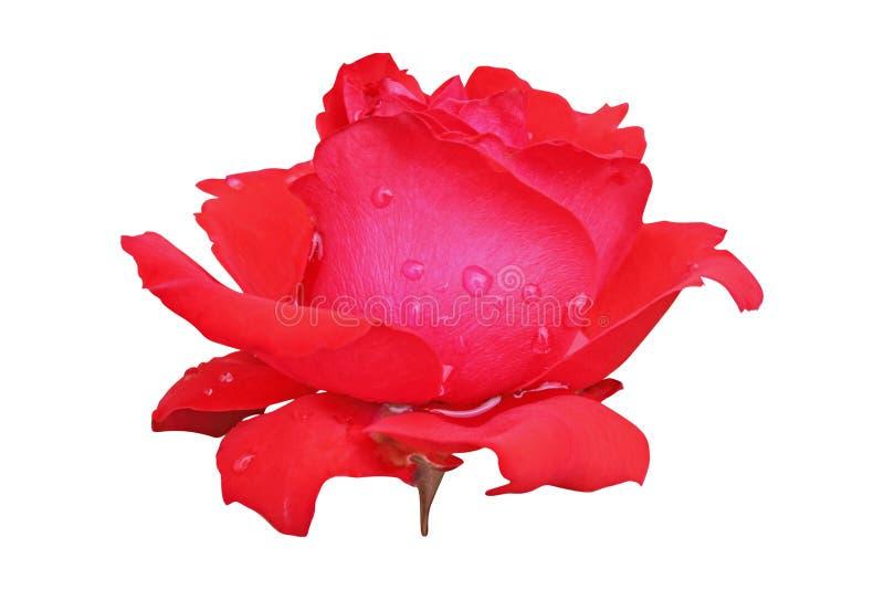 Flor color de rosa roja aislada con las gotas de agua en pétalos foto de archivo libre de regalías