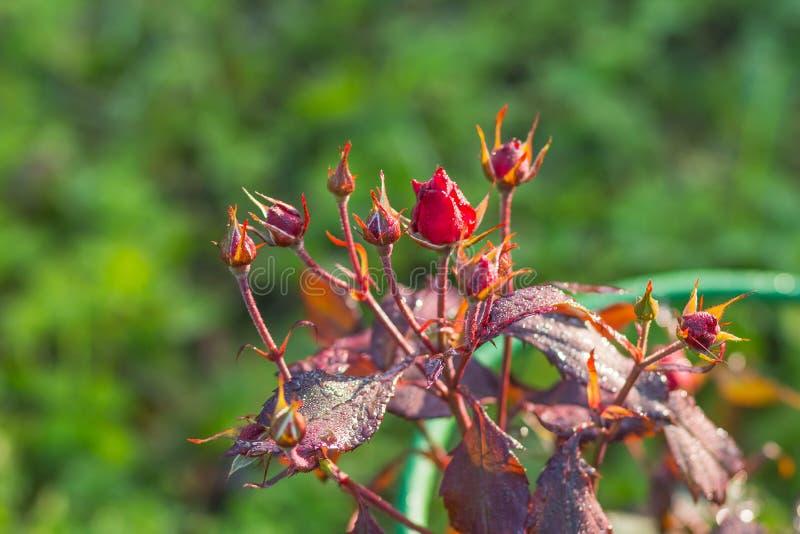 Flor color de rosa salvaje brotes de la rosa del rojo en fondo de la naturaleza Copie el espacio Las rosas rojas crecen en el jar foto de archivo