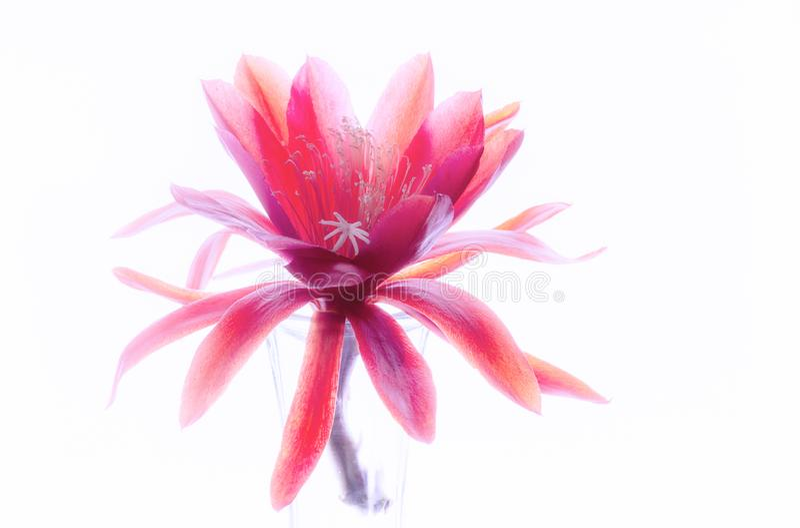 Flor coloreada en colores pastel hermosa de Epiphyllum imagen de archivo libre de regalías
