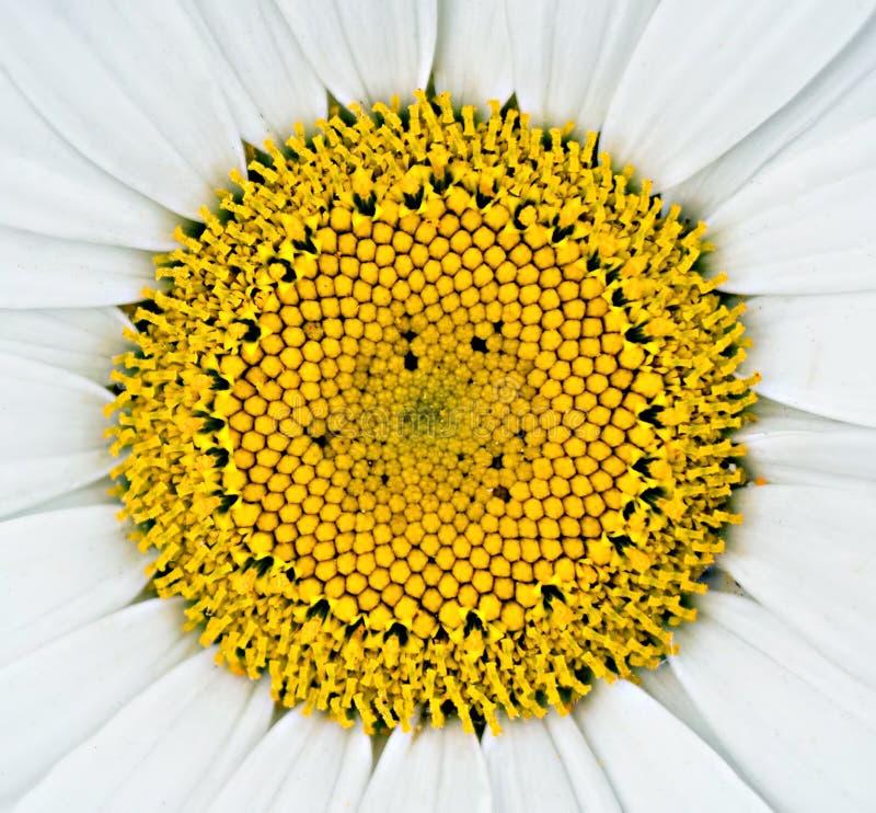 Flor coloreada rica de la margarita que se pealed para de amantes foto de archivo libre de regalías