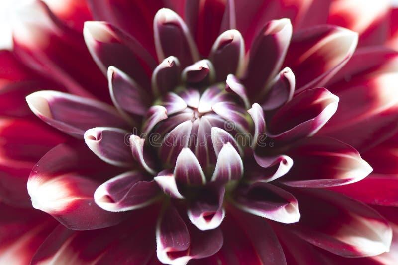 Flor colorida branca vermelha da dália, macro imagem de stock royalty free
