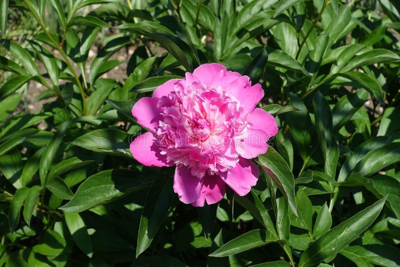 Flor colorida cor-de-rosa quente da peônia na mola imagens de stock
