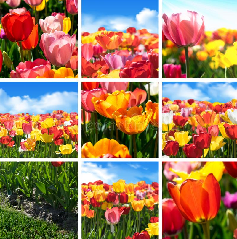 A flor colorida da tulipa ajustou - a colagem da coleção de nove fotos da natureza fotos de stock