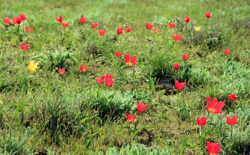 Flor colorida das tulipas no deserto fotos de stock