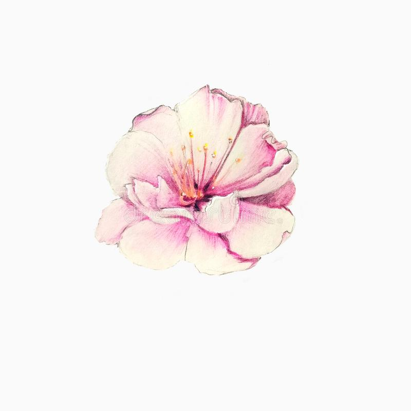 Flor colorida de sakura fotografia de stock